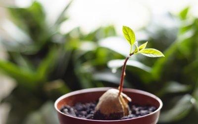 Grow your own avocado plant