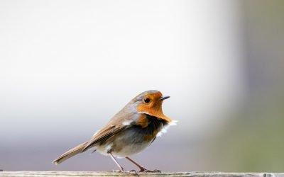 Join the RSPB Big Garden Birdwatch – Jan 29th -31st
